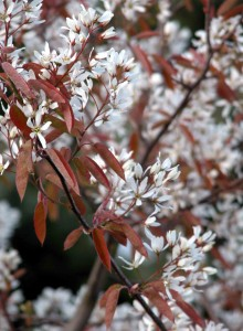 Amelanchier canadensis Low Maintenance Garden Software Blog
