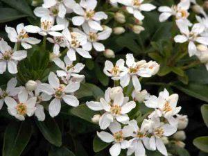 Choisya ternata Garden Plans Blog