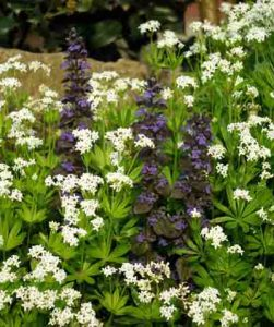Ajuga and Galium Easy Care Garden Ideas Blog