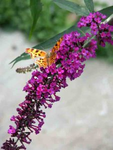 Buddleja - family garden ideas