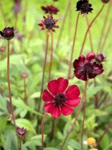 Cosmos atrosanguineus family friendly garden design software