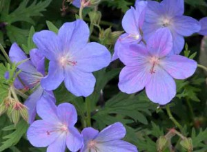 Geranium Johnson's Blue Family Garden Ideas