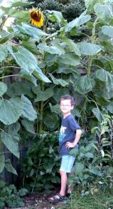 Boy and sunflower family friendly gardens