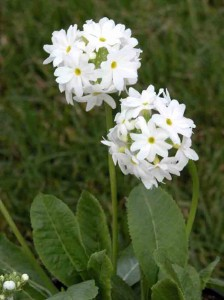 White primula garden software