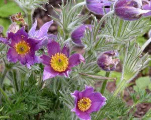 Pulsatilla vulgaris Garden Design Software Blog