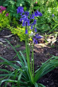 Common bluebell garden software blog