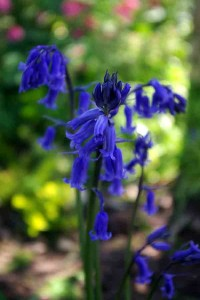 Common bluebell close-up garden plans software