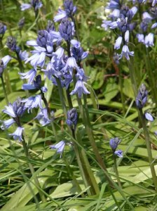 Spanish bluebells garden plans blog