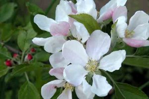 Falstaff apple planting software
