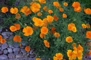Eschscholzia californica easy care plant