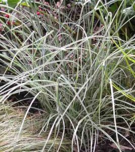 Miscanthus 'Morning Light' easy care plant