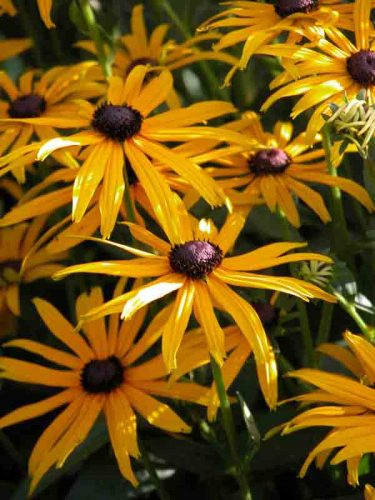 Rudbeckia sullivantii Goldsturm autumn garden borders