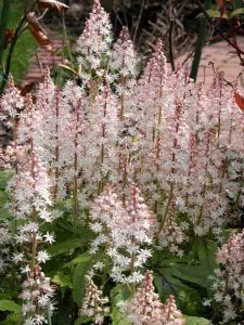 tiarella easy care plant