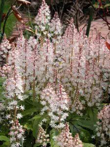 tiarella easy care plant