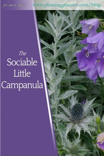 Sociable Little Campanula - from Weatherstaff garden design software