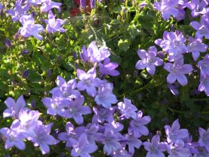 Campanula poscharskyana landscaping software