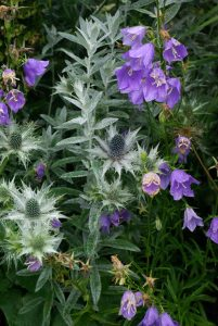 Artemisia and Eryngium landscape software