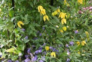 Clematis tangutica Aureolin plant design