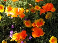 Eschscholzia mexicana and Geranium landscaping design software