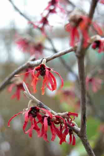 Hamamelis Intermedia Diane winter flower border design