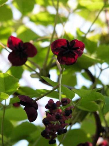 Akebia quinata planting design