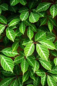 Parthenocissus henryana for border plan with climbers