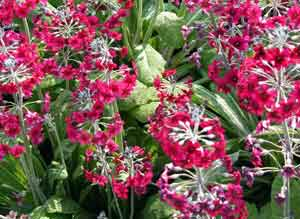 Primula pulverulenta spring flower