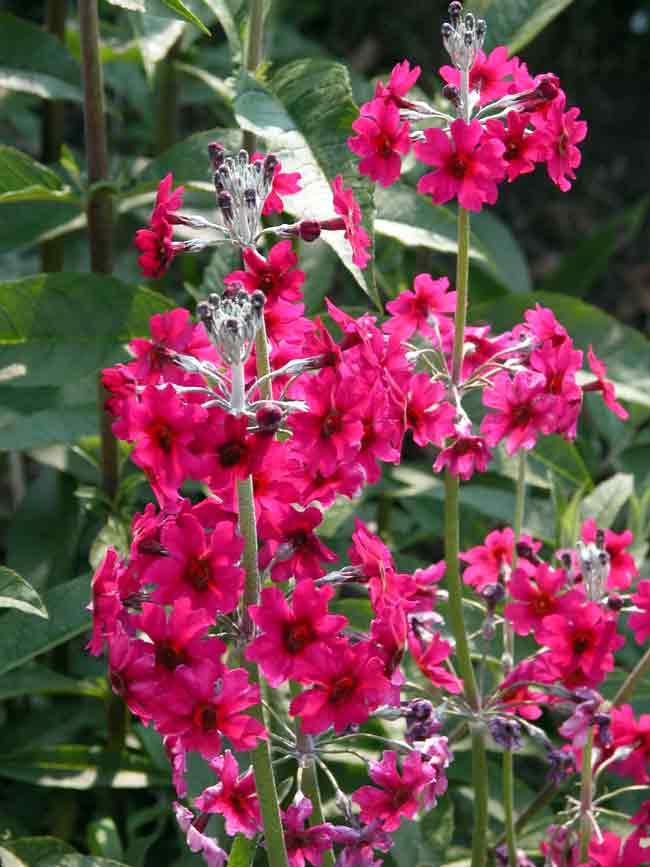 Candelabra primula wild garden design