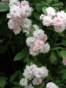Rosa Paul's Himalayan Musk rambler for landscape design