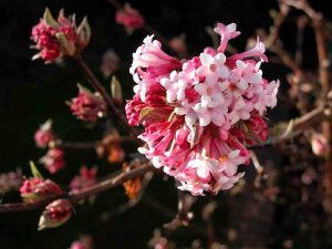 Winter border flowers Viburnum bodnantense Dawn