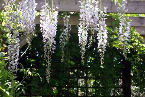Wisteria in herbaceous border design