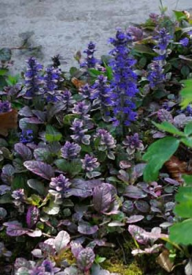 Ajuga reptans Burgundy Glow ground cover for border design in shade