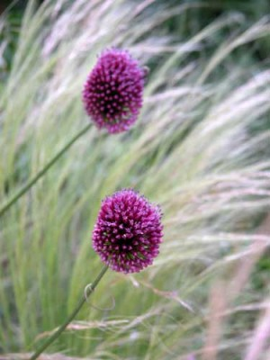 Allium sphaerocephalon alongside wispy Stipa tenuissima Planting Plan for summer