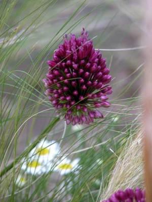 Allium sphaerocephalon with Stipa tenuissima and Chamaemelum nobile planting idea for well-drained soil