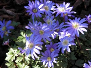 Anemone blanda landscaping design