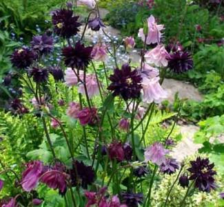 Columbine or Granny's Bonnet (Aquilegia vulgaris)
