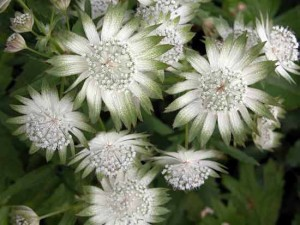 Astrantia perennials for border design