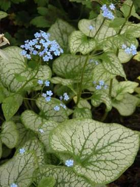 Brunnera macrophylla Jack Frost Weatherstaff plantiing plan