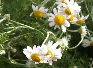 Chamaemelum nobile summer border idea