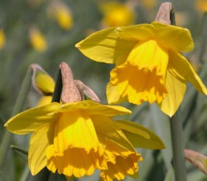 Daffodils Weatherstaff Plant Profile