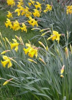 Daffodils spring garden