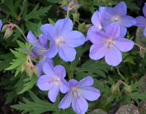Geranium 'Johnson's Blue' herbaceous borders