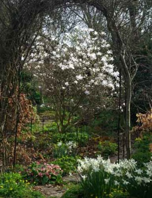 Magnolia stellata and Narcissus 'Thalia' garden design idea