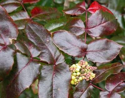 Mahonia aquifolium shady border shrub