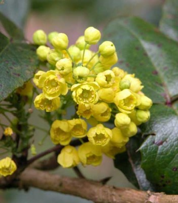 Fragrant spring flowers of Mahonia aquifolium for shady planting plan