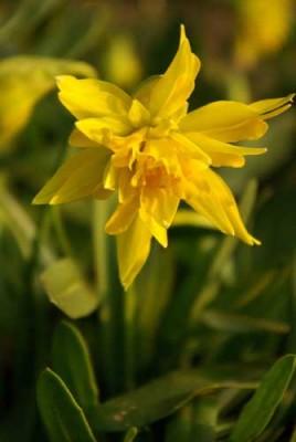 Narcissus 'Rip van Winkle'  spring garden plan