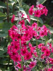 Primula pulverulenta Landscape design software
