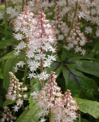 Tiarella Iron Butterfly shade border perennial