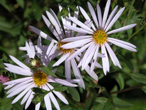 Aster pyrenaeus Lutetia autumn flower beds