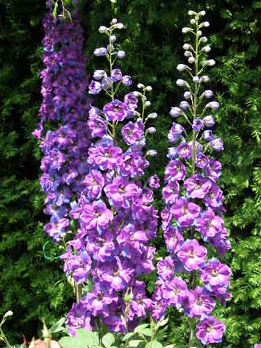 Delphiniums cottage garden planting plan